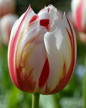 Tulip Happy Generation | DutchGrown®