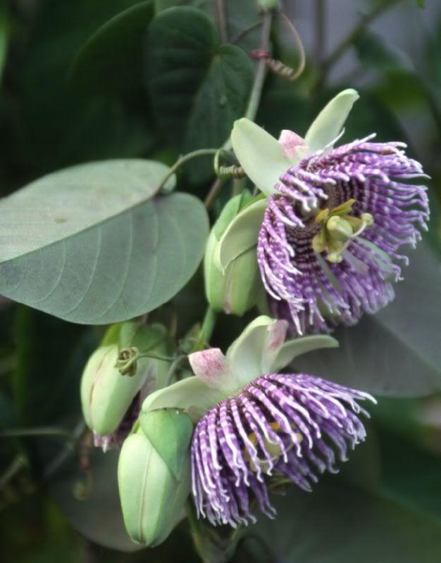Passiflora Ligularis Pesquisa Do Google Passiflora Passion Flower Flowering Vines
