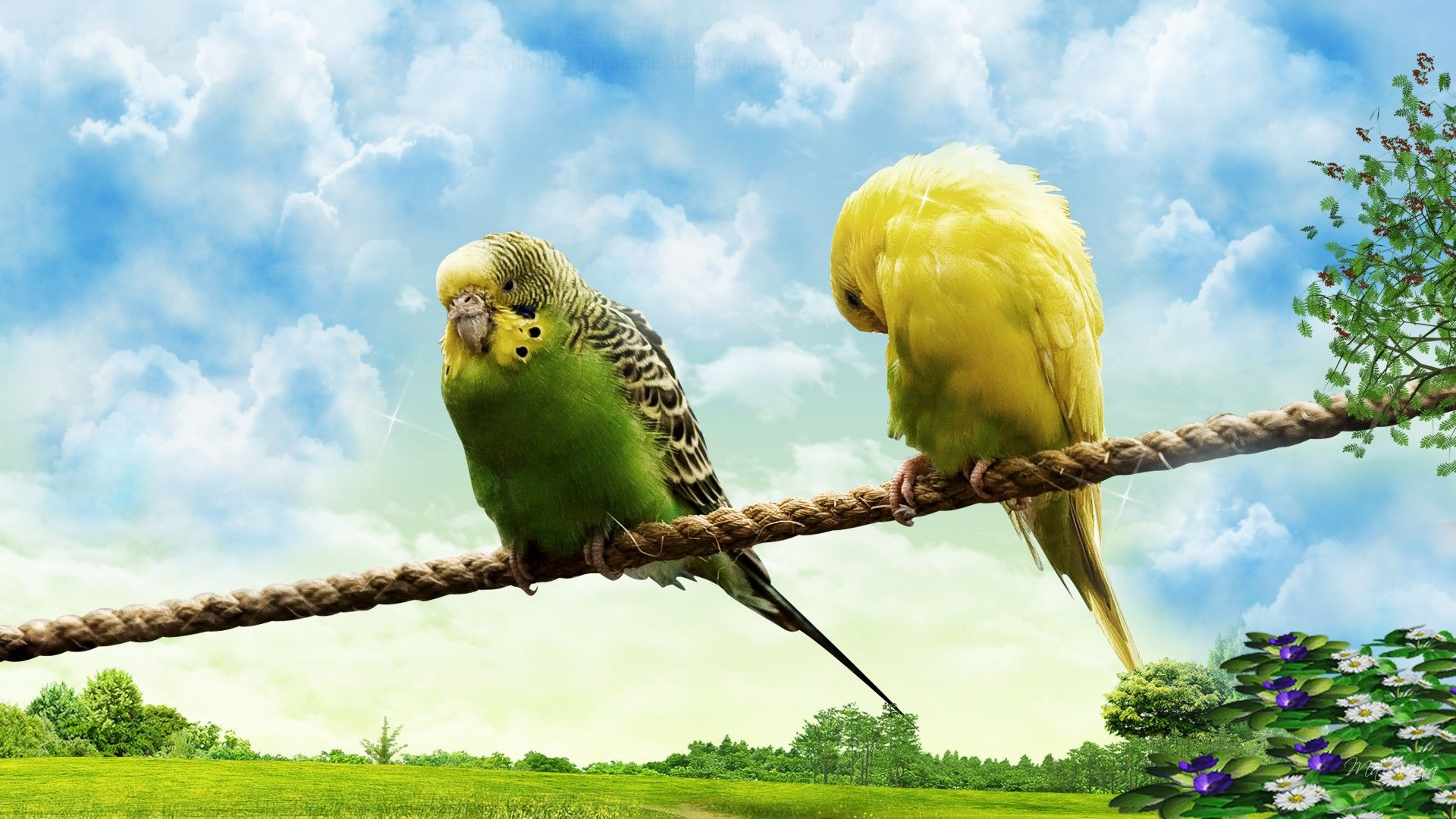 Budgies on a Rope (1920x1080).