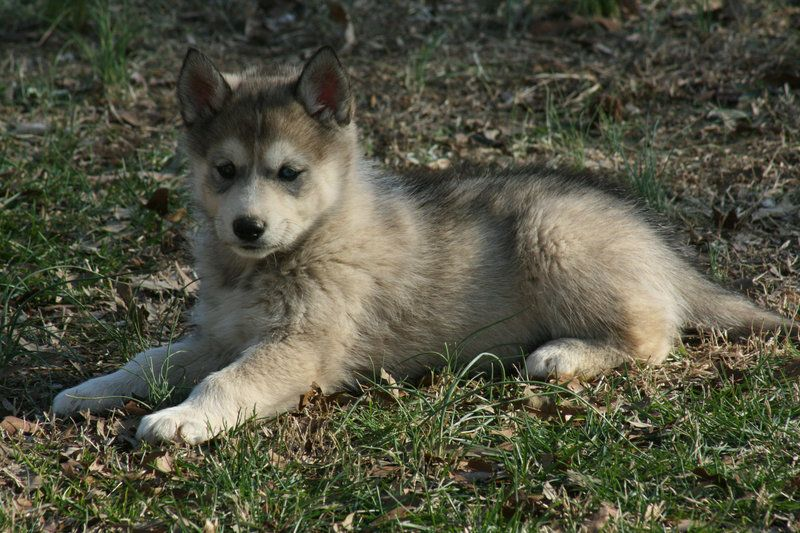 Timber Wolf Timber The Wolf Dog Puppy By Greensh On Deviantart