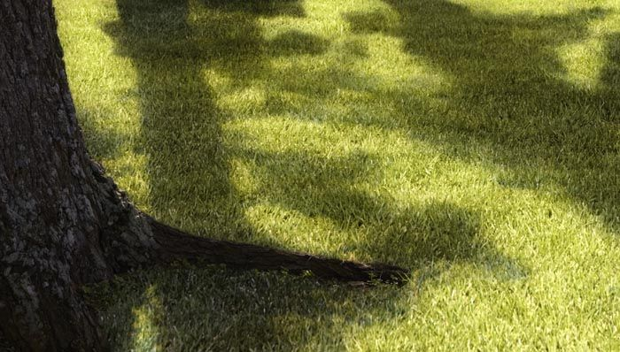 How To Grow Shade Grass Shade Grass Grass Seed For Shade Grass For Shady Areas