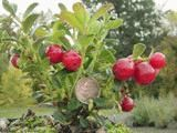 Ida Lingonberry-4 in pot/SPRING Ida sports very large flavorful berries and produces TWO crops a year, one in mid summer and again in the late fall. It is a vigorous growing compact bush to only 8 inches tall. 4 inch pot. Partially self-fertile, choose another variety of lingonberry for pollination.
