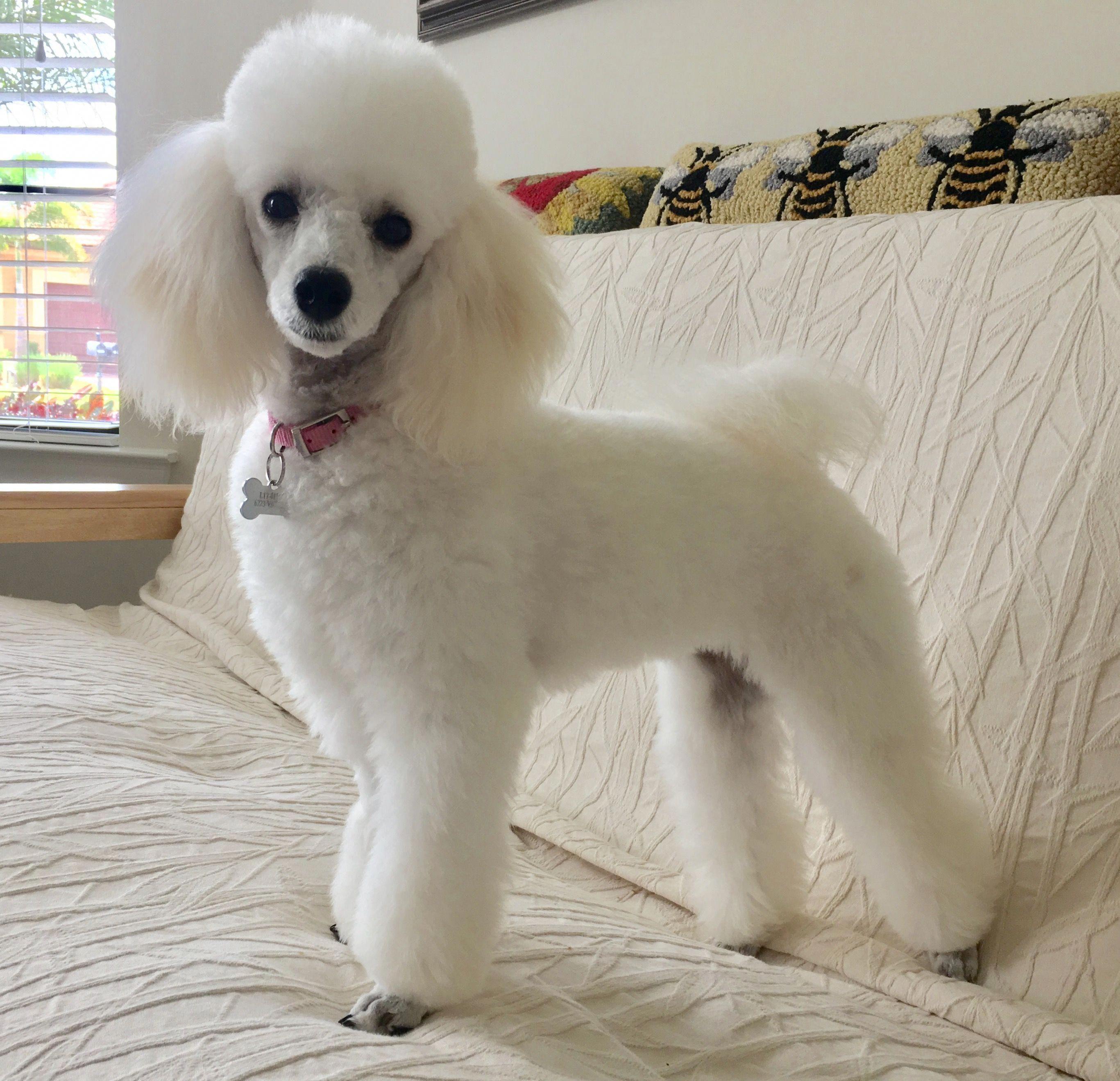 Miniature Poodle Poodlepuppy Miniature Poodle Poodle Dog