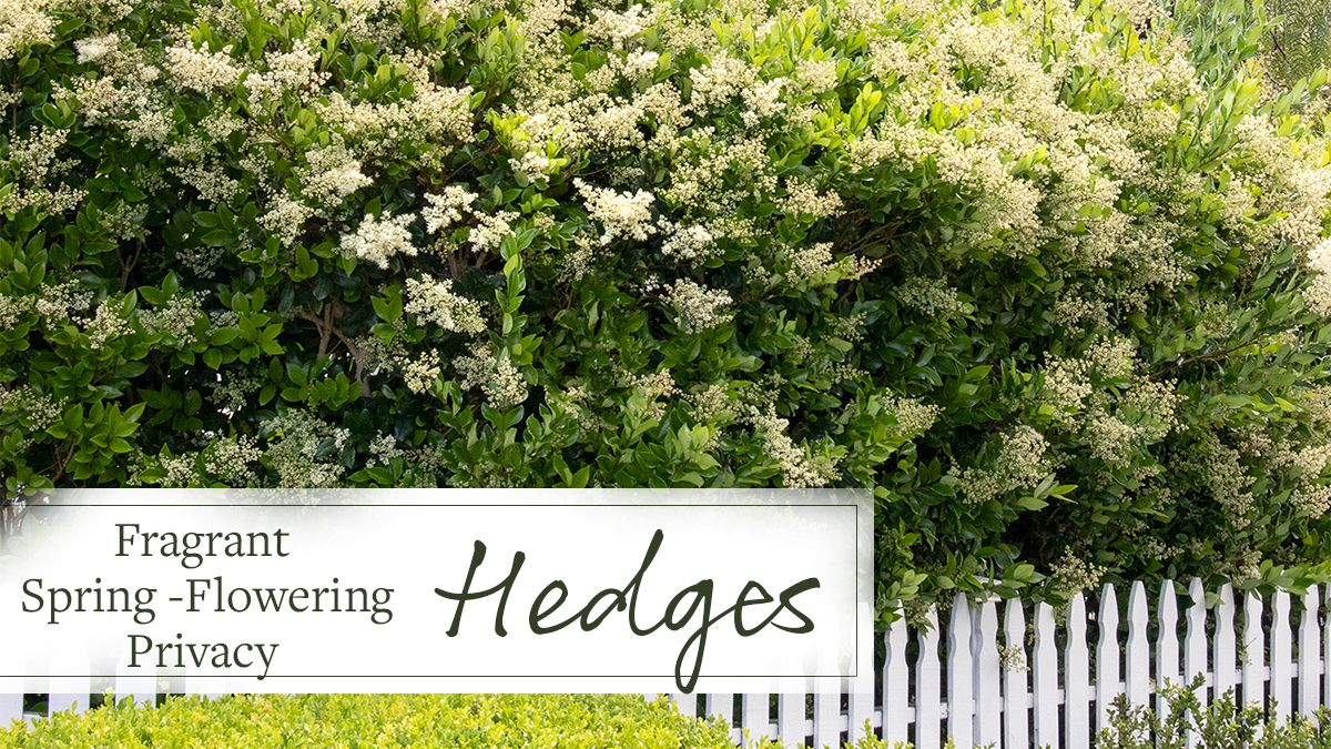 Fragrant Spring Flowering Privacy Hedges Grow Beautifully Growing Shrubs Fast Growing Shrubs Hedges