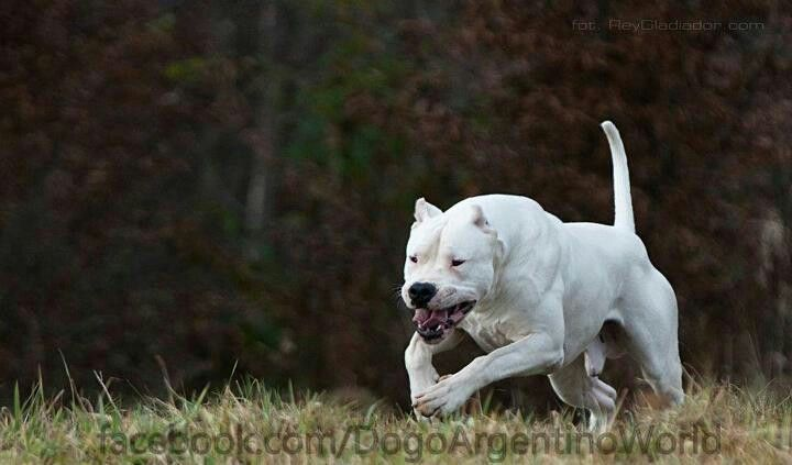 Dogo Argentino Dogs Big Dogs Dog Argentino