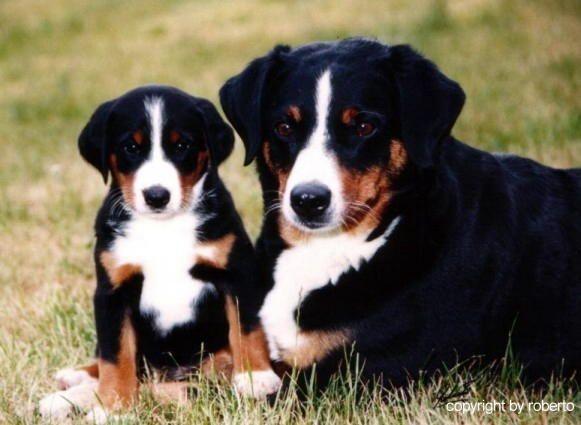 Appenzeller Sennenhund Appenzeller Sennenhund Juvomi De