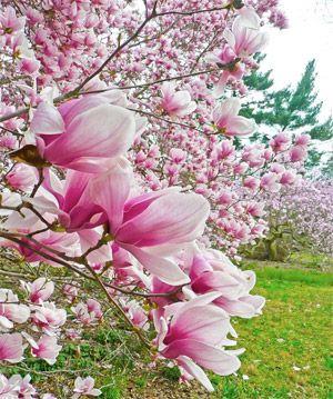 Explore The Chestnut Hill Neighborhood Of Philadelphia Cherry Blossom Japan Morris Arboretum Cherry Blossom