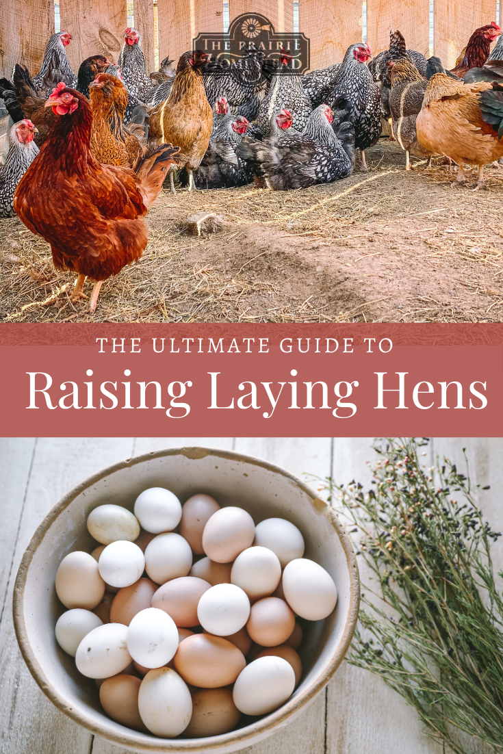 Beginner S Guide To Raising Laying Hens