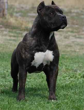 American Staffordshire Terrier Was Used For Bullbaiting In England