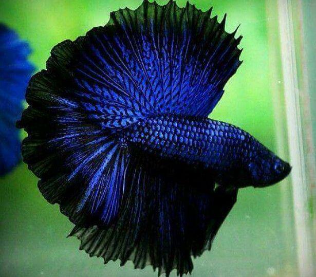 Beautiful blue black betta fish cute animals for Cute betta fish
