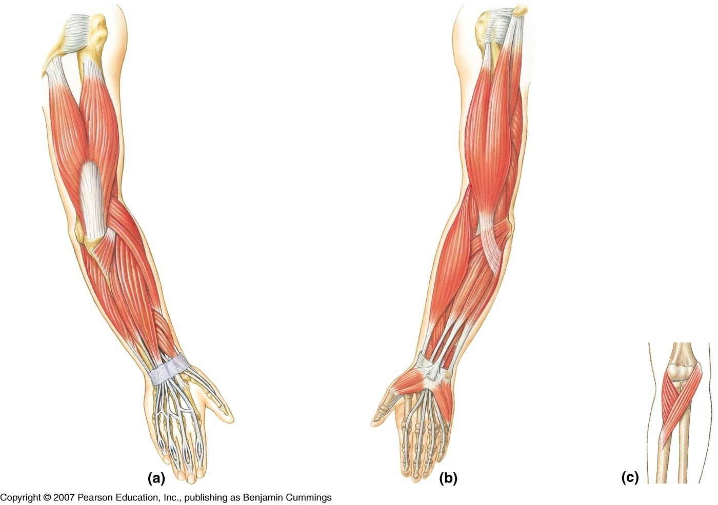small resolution of blank arm diagram wiring diagram used blank arm muscle diagram