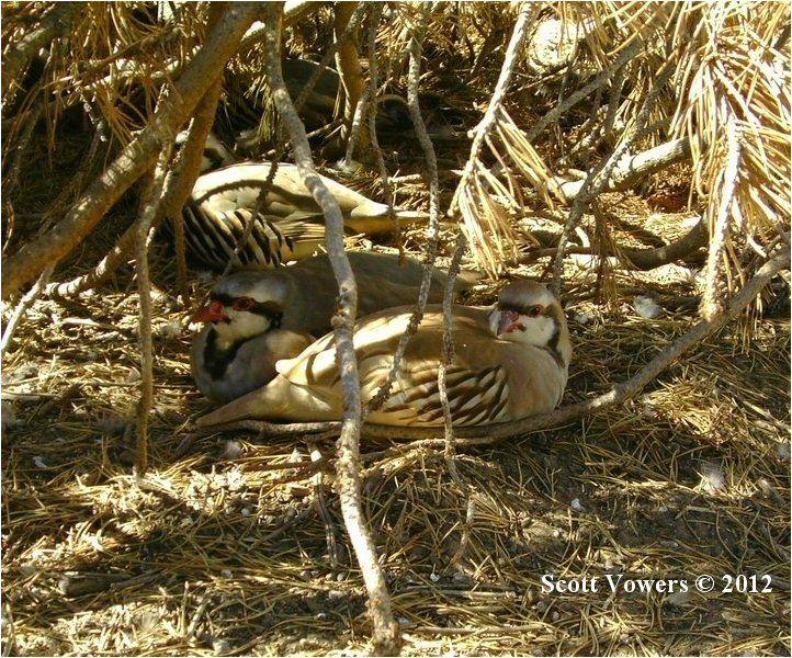 Chukar Partridge (Alectoris chukar) © Scott Vowers