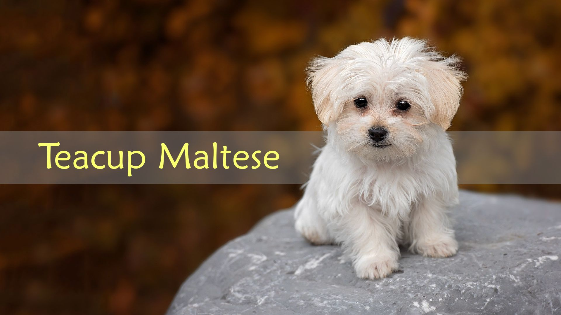 Teacup Maltese The Cutest Dog Breed Facts Teacup Maltese