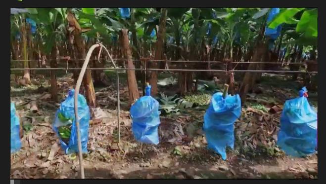 Hold-up sur la banane... Drôles de régimes arrosés aux épandages agro-toxiques...et travailleurs intoxiqués... Liste des produits chimiques utilisés confidentielle... http://pluzz.francetv.fr/videos/hold_up_sur_la_banane.html