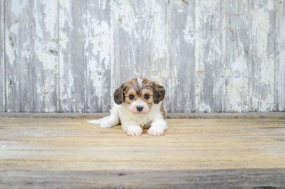 Cavapoo puppies for sale cavapoo puppies for sale