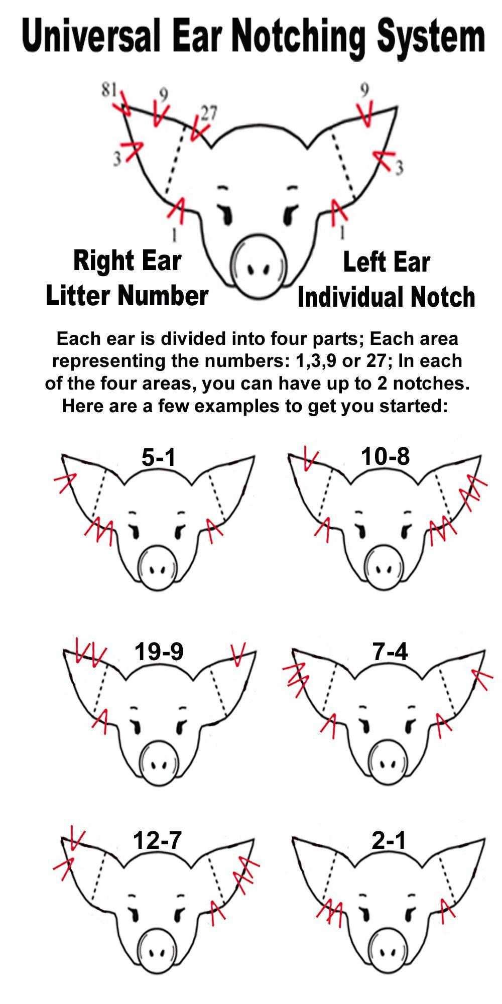 pig ear notching | Ear Notch Diagram. My life. I think I ...