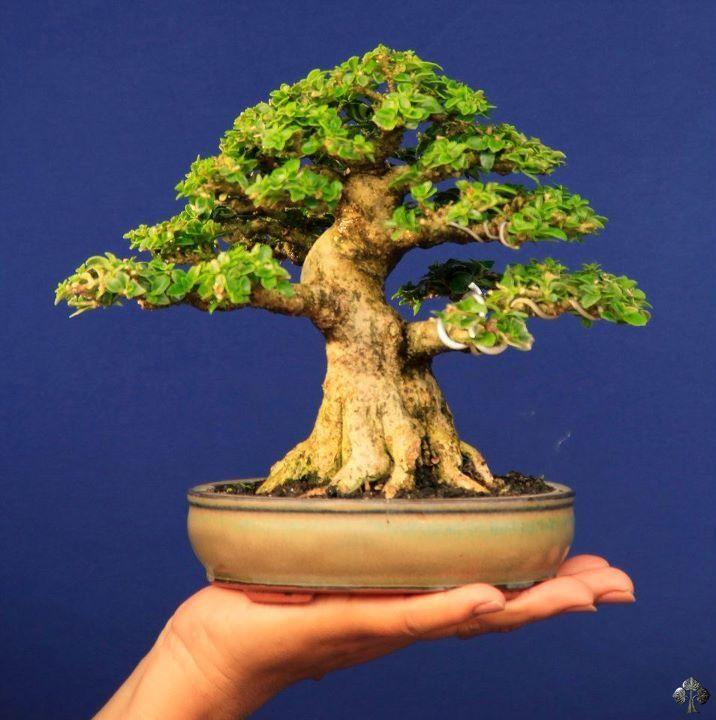 Premma Mycrophylla Bonsai Tree Mame Bonsai Indoor Bonsai Tree