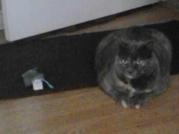 Lost Cat Georgina Ontario On Canada L34960 Lost Cat Cats Losing A Pet
