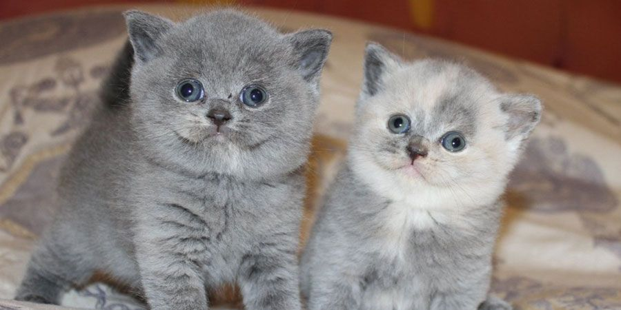 British Shorthair Price Personality Lifespan With Images