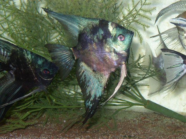 Smokey Angelfish Angelfish For Sale Http Www Uk Angelfishforum Org Uk T416 Angelfish Angel Fish Tropical Fish Beautiful Fish