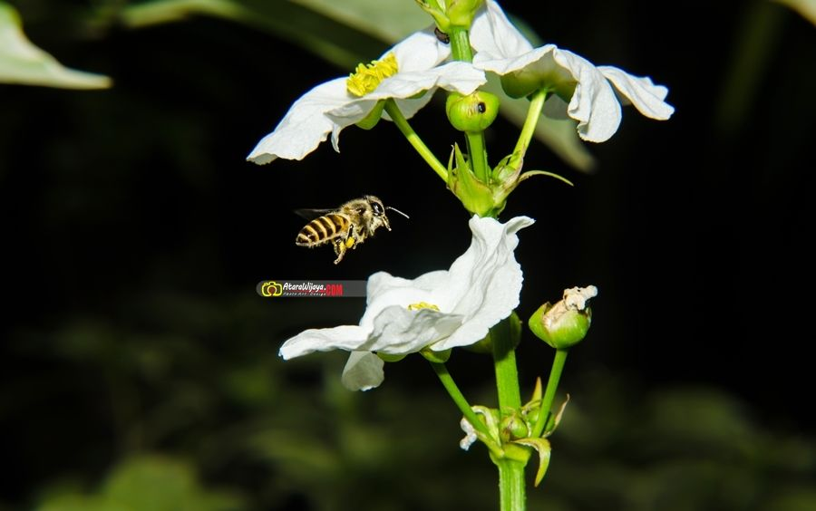 just bees | Cuma Lebah  Camera maker : NIKON CORPORATION | Camera Model : Nikon D5100 | Lens : TAMRON SP AF 17-50mm f/2.8 XR Di II LD Asph (IF) | FL :50mm | F-stop : f/13 | Exposure time : 1/200 sec. | ISO speed : ISO-200 | Flash : YES (Internal)