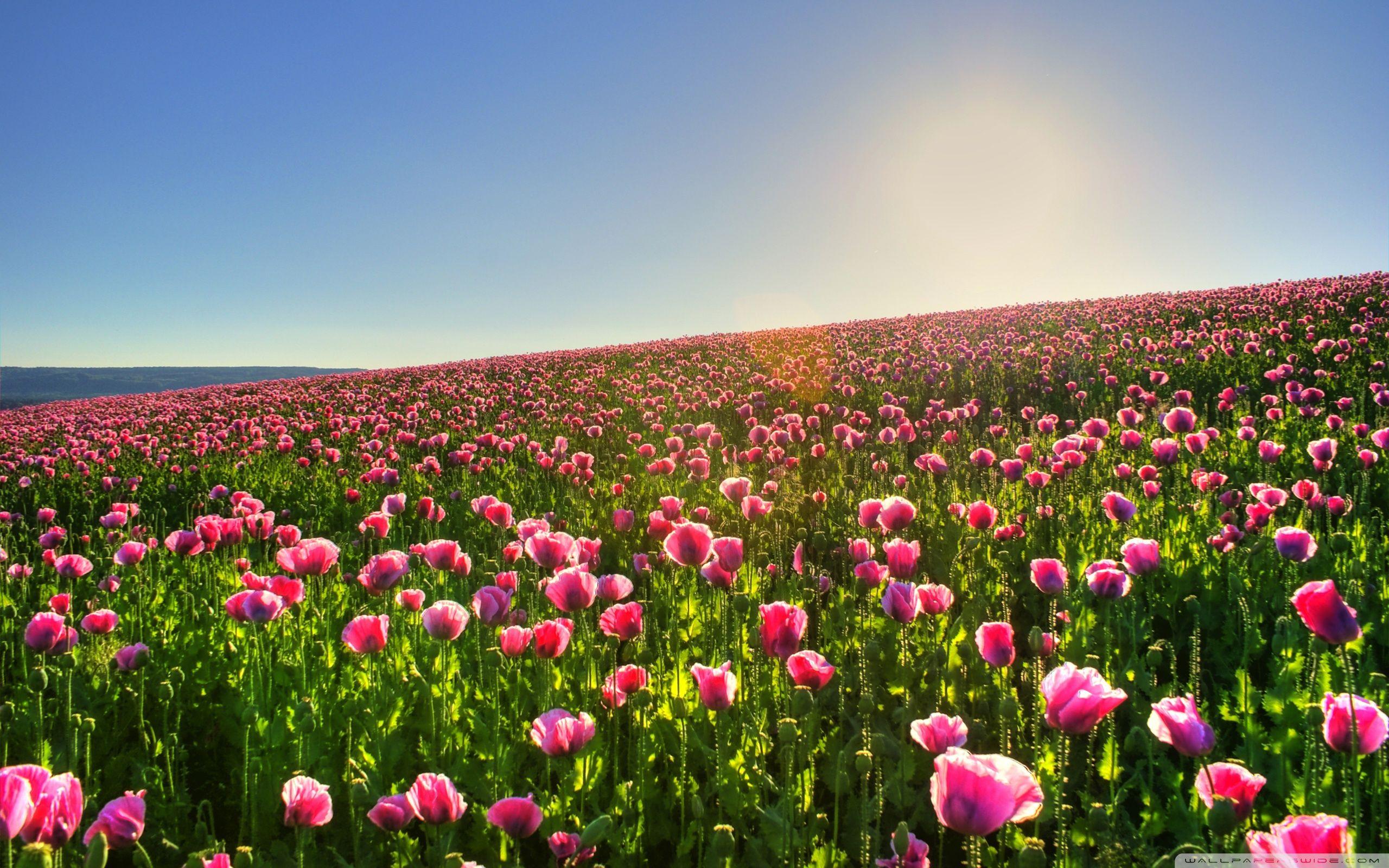Amazing Flower Field Wallpaper 2560x1600 22455 Field Wallpaper Flower Field Amazing Flowers
