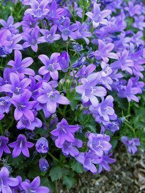 Campanula Bavarian Blue Bluestone Perennials Flowers Perennials Campanula Flowers Perennials