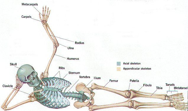 skeletal system structure Human body anatomy, human body muscle ...