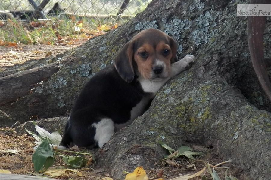 Meet Butter Fly A Cute Beagle Puppy For Sale For 320 Butter Fly