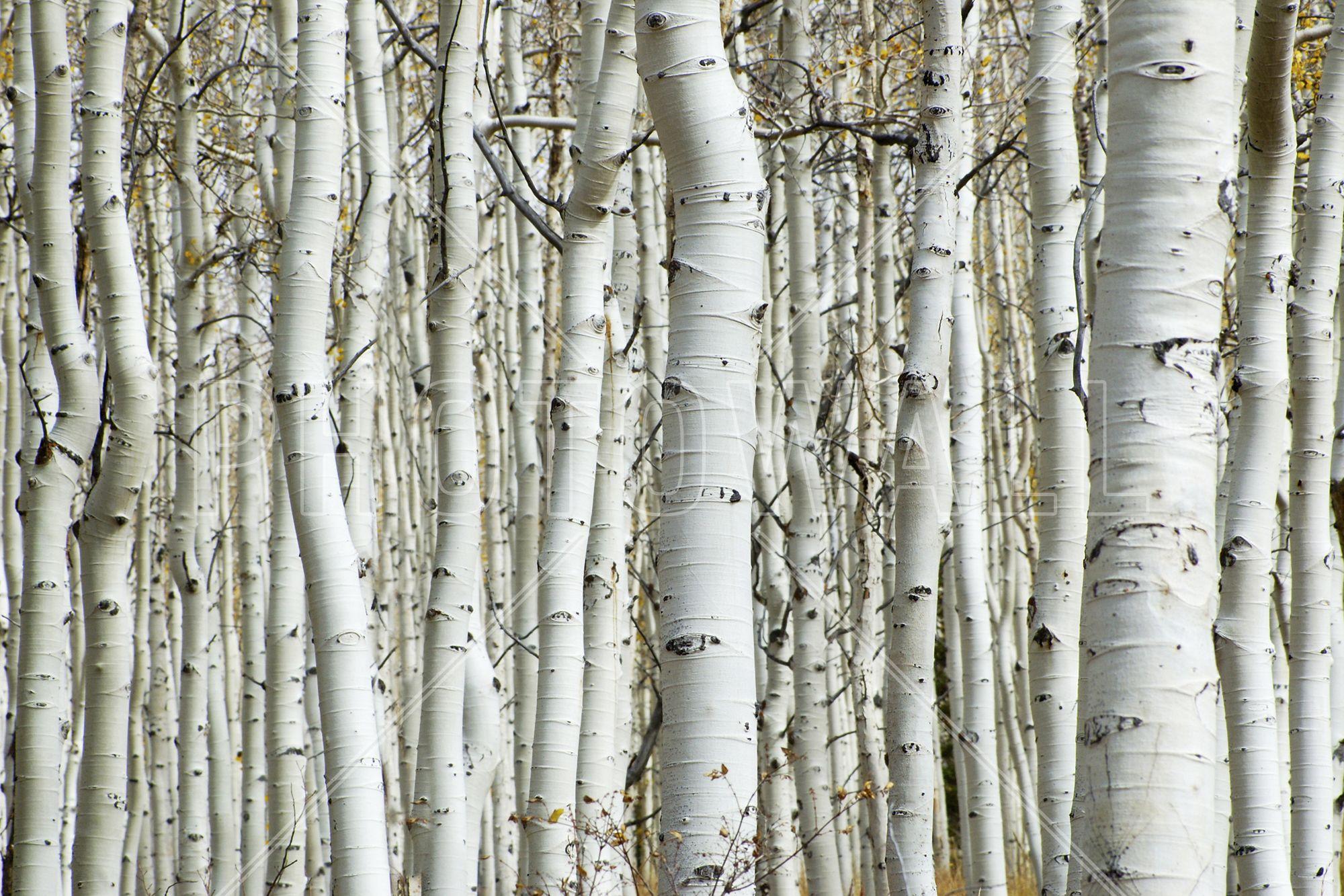 Wandtattoo Baum Birke Baum Mit Weißem Stamm Wandtattoo Baum Von