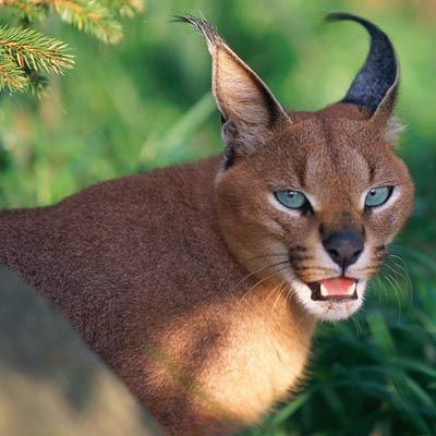 caracal is a golden cat that lives in dry regions, from Africa to India.