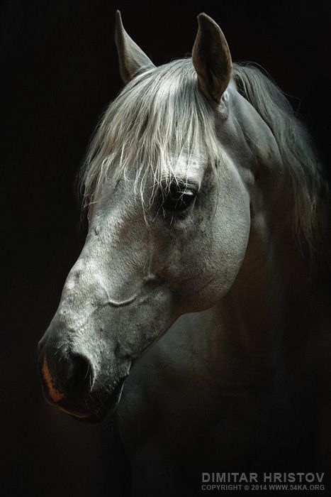 White horse portrait horse head photo young white horse head white horse white traditional thoroughbred studio