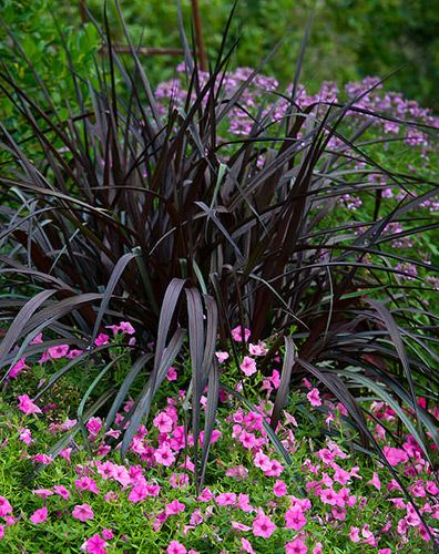 Five easiest annuals to grow allen smith petunias and for Decorative grasses full sun