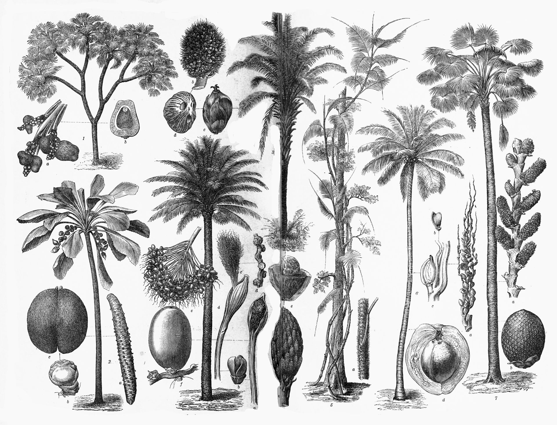 various arecaceae arecaceae wikipedia the free encyclopedia  various arecaceae arecaceae wikipedia the free encyclopedia
