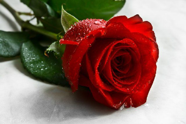 Pin By Support Tasks On Rose Flowers Red Rose Flower Flowers