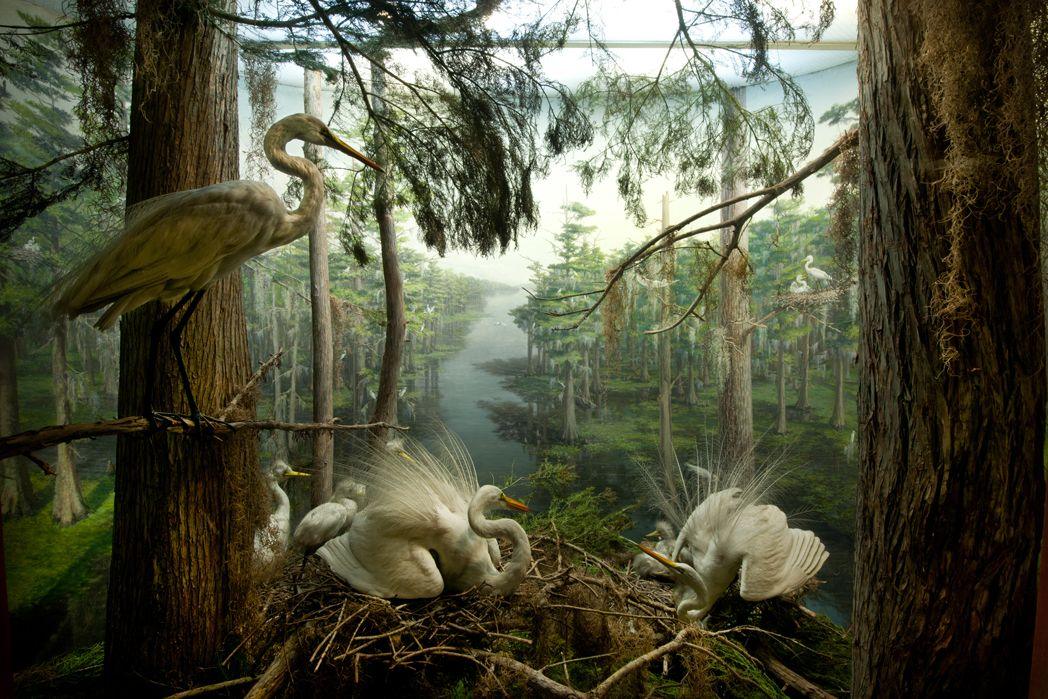 American Egret diorama, Hall of North American Birds