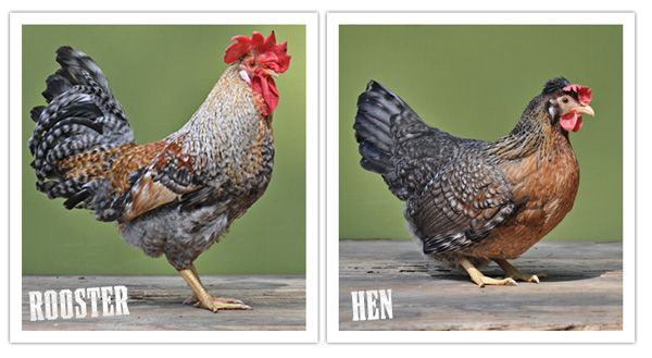 Beautiful Chickens Crested Cream Legbar Autosexing So You Can