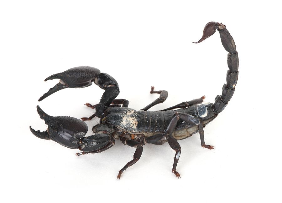 Aninimal Book: Scorpions in Guatemala - although they might look scary ...