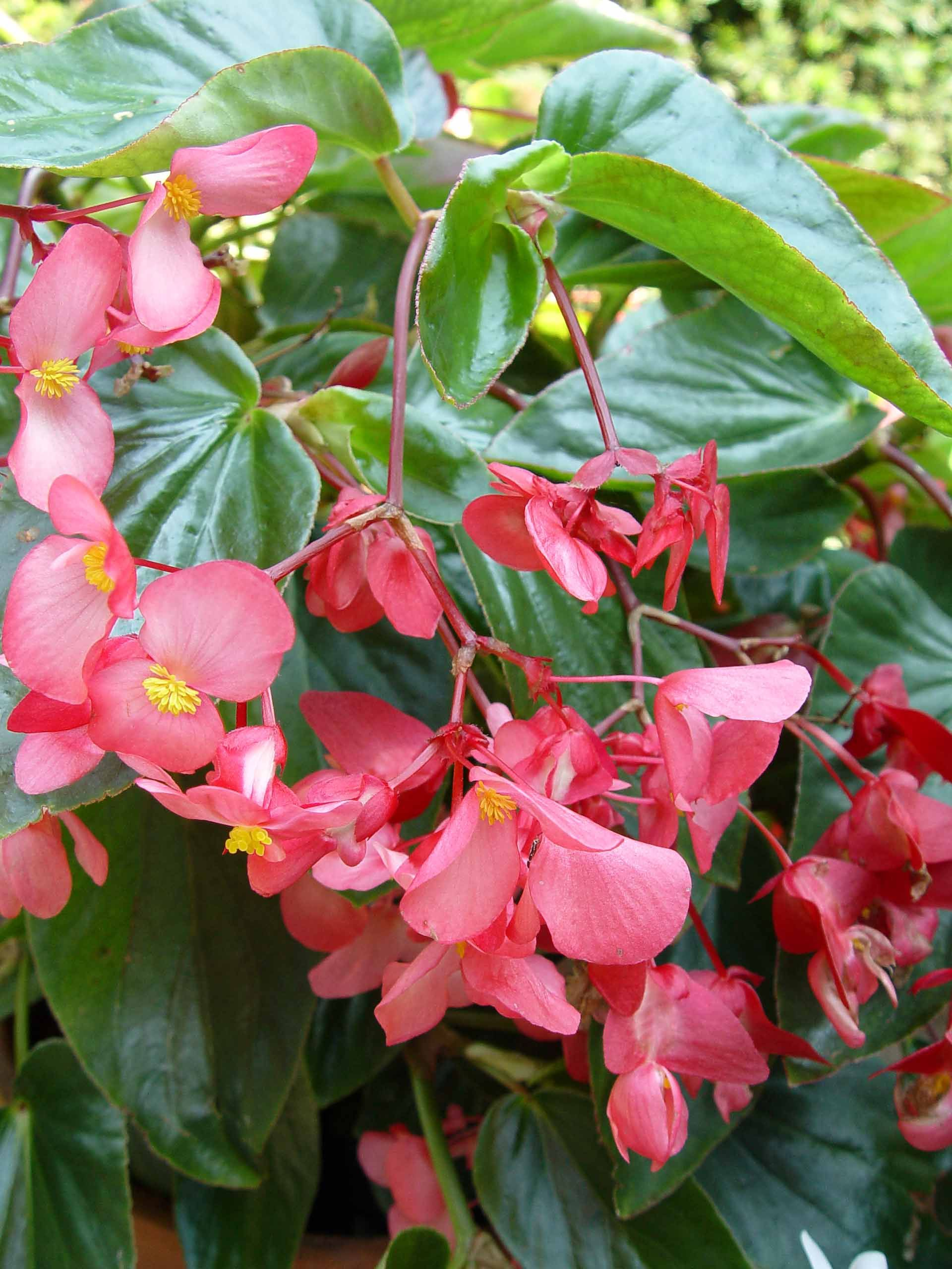 Begonia: home care for its comfortable life all year round 42
