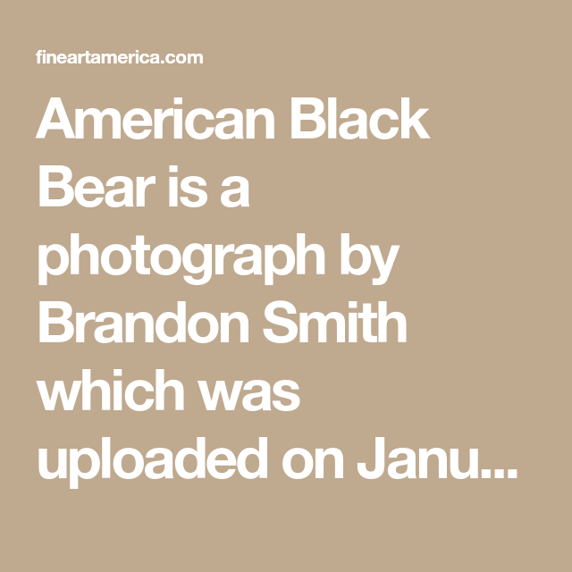 American Black Bear Is A Photograph By Brandon Smith Which Was Uploaded On January 22nd 2014 The Photograph May Be Purcha American Black Bear Black Bear Bear