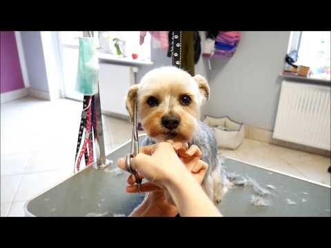 Youtube Yorkshire Terrier Puppies Yorkshire Terrier Yorkshire Terrier Training