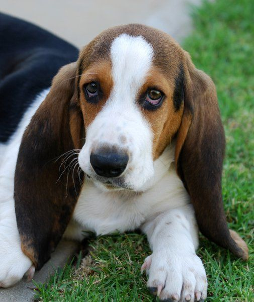 10 Cute Animals With Big Ears Bassett Hound Dogs Hound Puppies