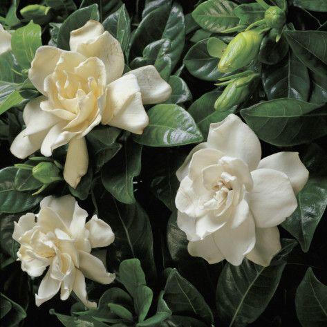 Gardenia Cape Jasmine Evergreen Shrub Height 2 6 Width 2 6