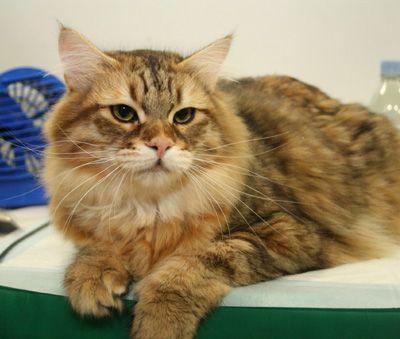 Siberian Cat Breed Profile Siberian Cat Cat Breeds Cats