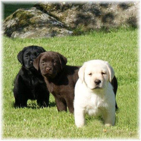 Pin By Melody Sanborn On Cute Animals Lab Puppies Yellow Lab Puppies Cute Dogs