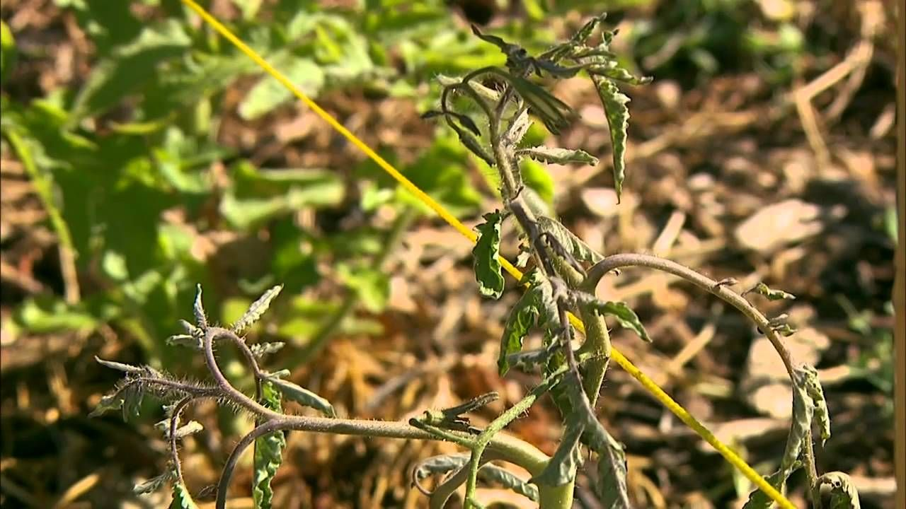 Oklahoma Gardening host Kim Toscano discusses scouting for pests as ...