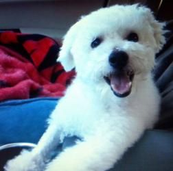 Oliver Is An Adoptable Bichon Frise Dog In Dallas Tx Oliver