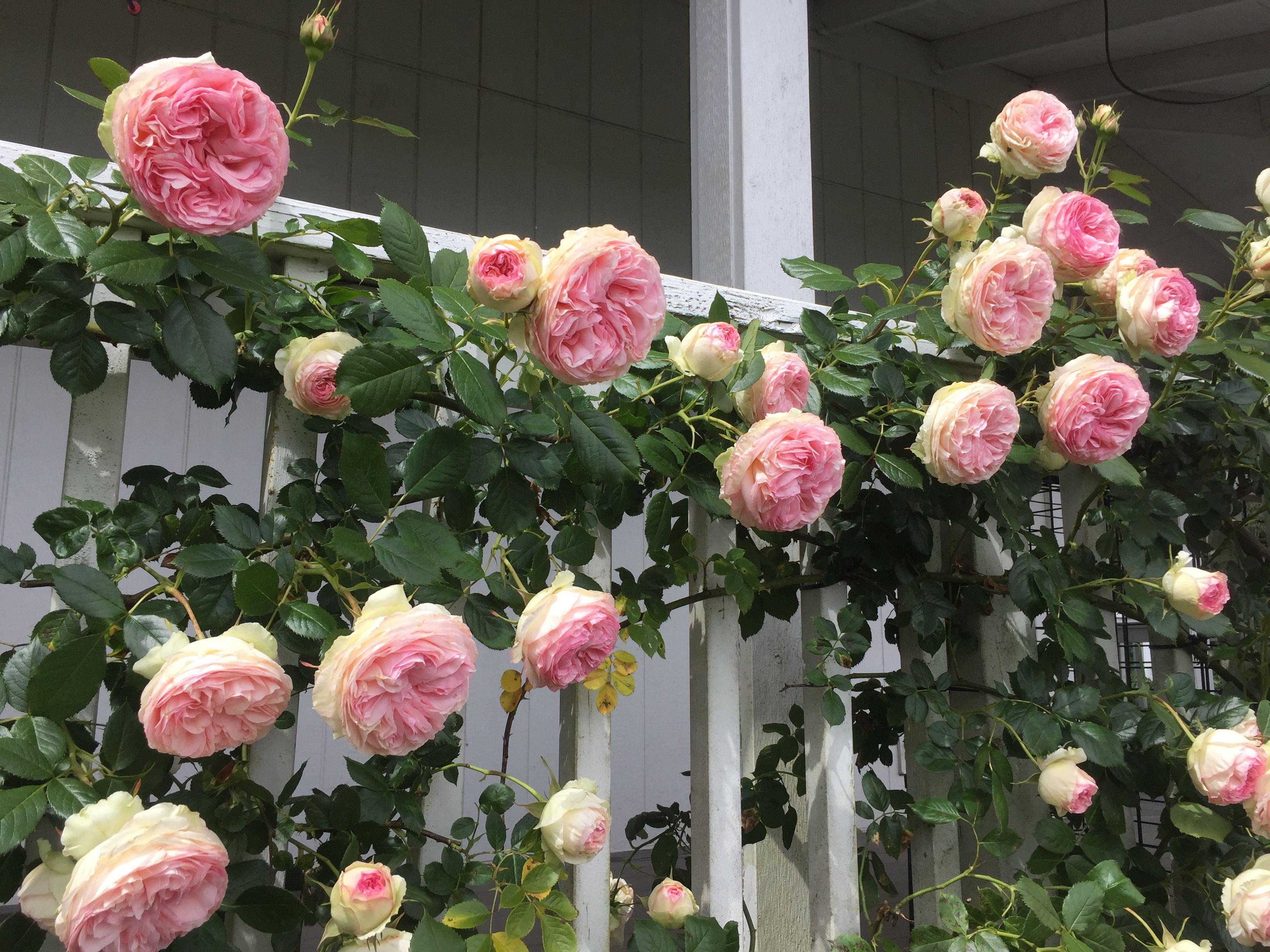 Eden Climber Climbing Roses Small Garden Fence Garden Vines