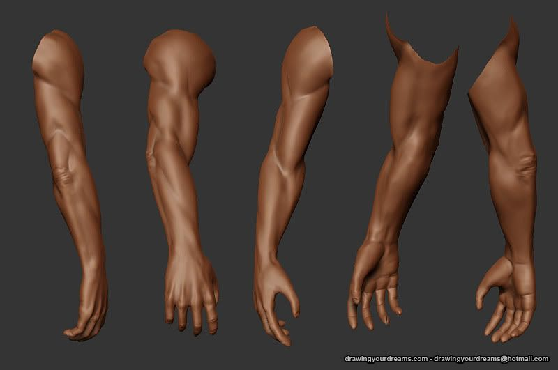 Arm anatomy reference