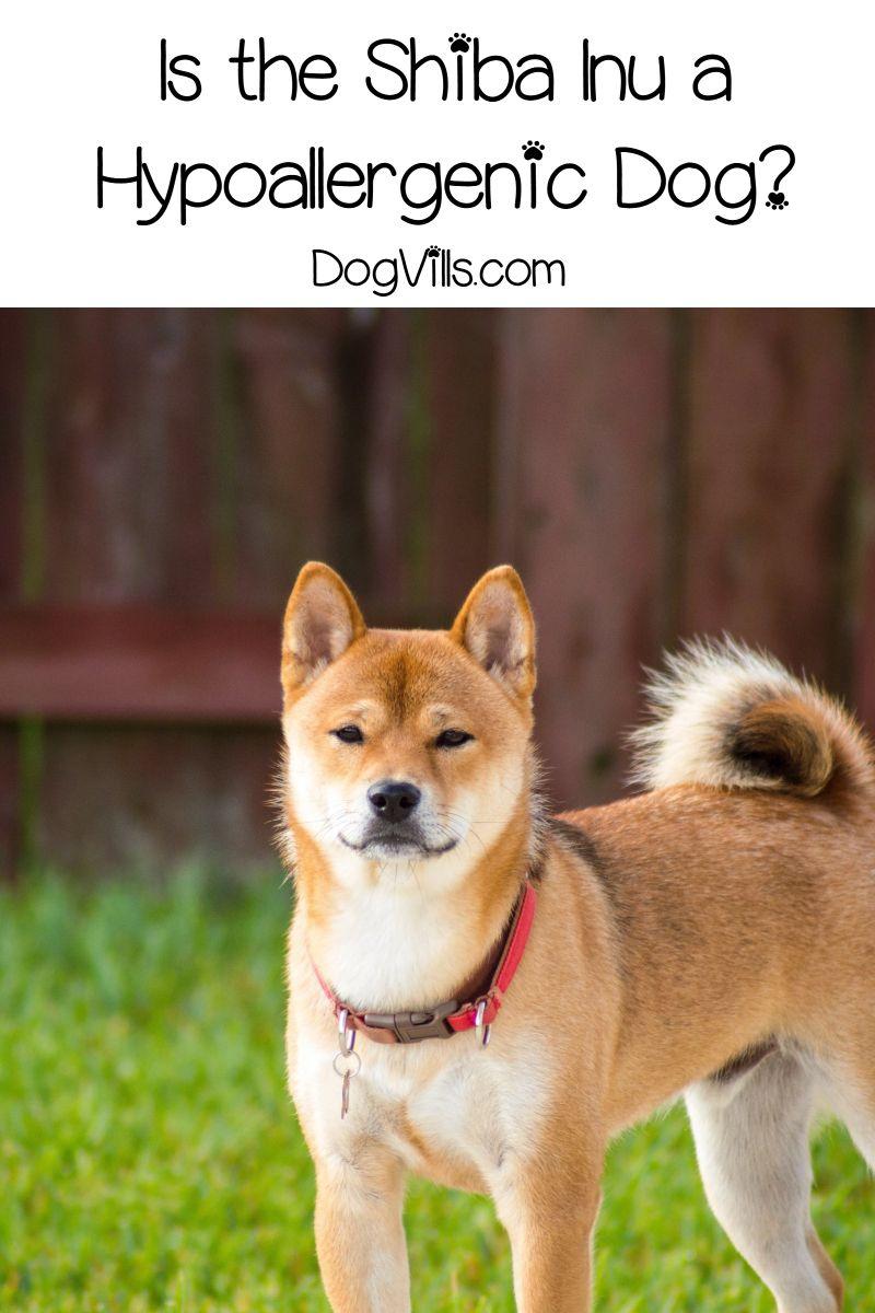 Is Shiba Inu Hypoallergenic Dogvills Dog Breeds Japanese Dog